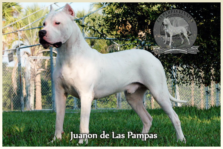 Argentine Dogo Puppies for Sale