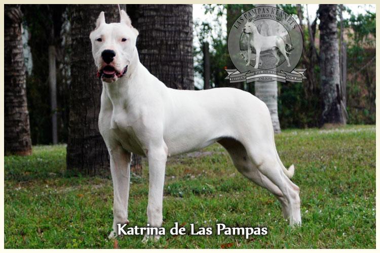 Dogo Argentino Argentine Dogo : The Original US Breeder Upholding ...