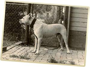 Dogo Argentino Pitbull Mix For Sale